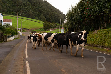 Leah-Ramuglia-Photography-cattle-in-the-streets-on-terceira-island-azores-portugal-europe-2016.jpg