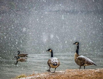 SnowGeese11x14PS.JPG